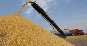 Photo de La production agricole des céréales dépasse 220 milliards de DA